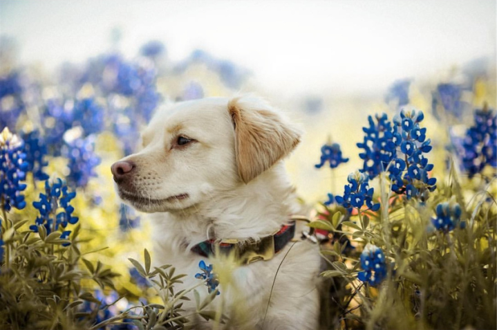 The Best Places for You and Your Pup to Take Bluebonnet Photos!